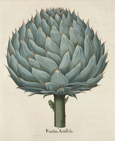 Affordable botanical art and flowers pictures, Artichoke